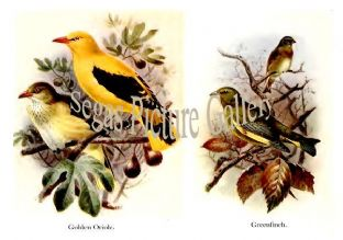 Golden Oriole & Greenfinch